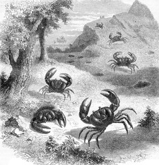 Earth purple crab Jamaica, vintage engraving.