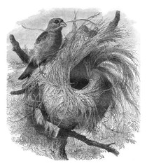 Grosbeak migratory of Madagascar and its nest, vintage engraving