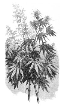 Hemp, vintage engraving.