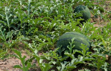 Watermelon farm, agricultural career in northeastern Thailand