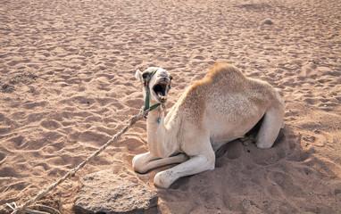 singing camel