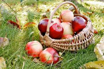 Basket with red apples on green grass