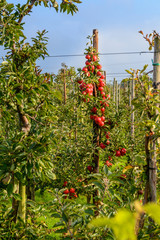 Red apples in my orchard