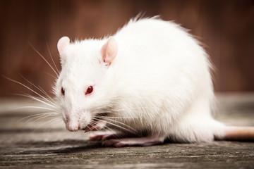 Fotoväggar - Pet rat closeup