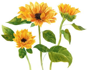 Three watercolor sunflowers with green leaves on white background