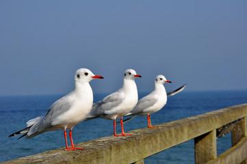 Drei Möwen an der Ostsee