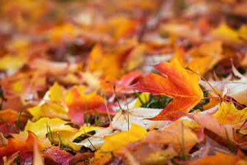 Colorful autumn maple tree leaves nature background