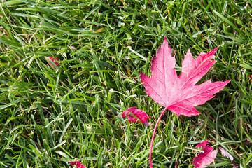 Red sugar maple leaf on a green lawn
