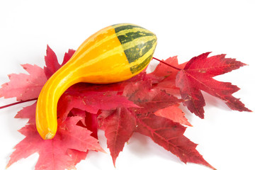 Long decorative two tone gourd on red leaves
