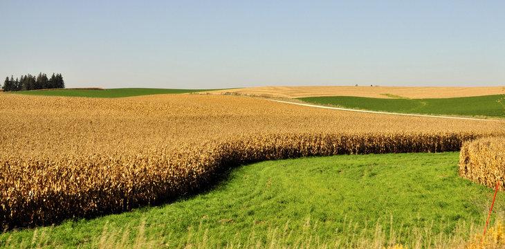 Midwestern Corn / Cornfield in Minnesota