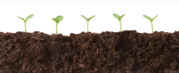 Tiny seedlings in the dirt all lined up against a white background. Wall mural