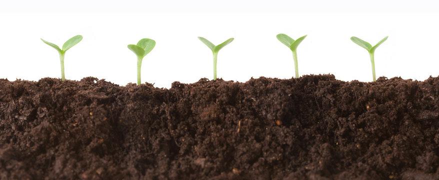 Tiny seedlings in the dirt all lined up against a white background.