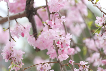 Pink Sakura flower or cherry blossoms.