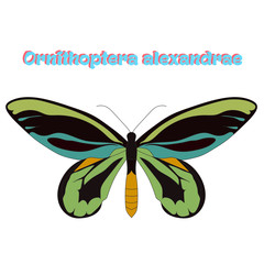 Butterfly Ornithoptera alexandrae vector