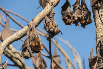 Little red flying foxes roosting in clusters.
