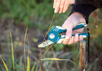 Female hand with shears cuts the vine in the fall to increase the yield. Photo closeup