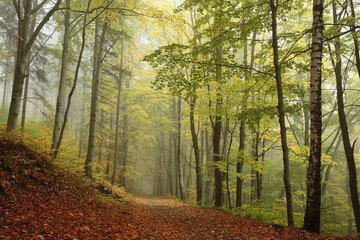 Path through the autumnal beech forest