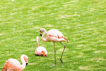 Group of pink flamingos