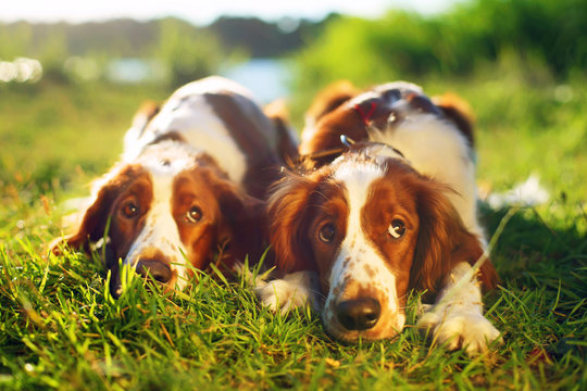 Two Welsh Springer Spaniels lying in a green grass on the sunset