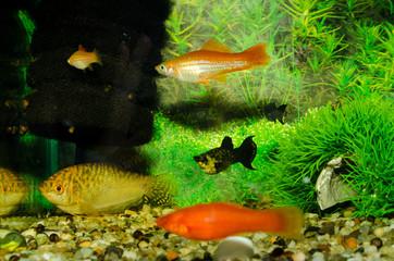 Aquarian small fishes float in a beautiful aquarium