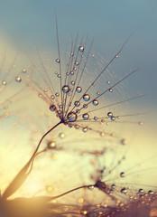 Foto op Canvas Paardebloemen en water Dewy dandelion flower at sunset close up