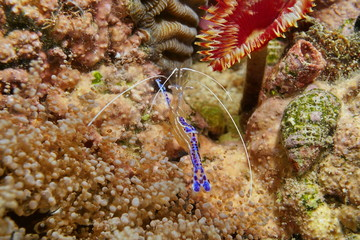 Pederson cleaner shrimp Ancylomenes pedersoni