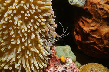 Spotted cleaner shrimp underwater Caribbean sea