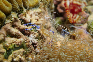 Underwater marine life Pederson cleaner shrimp
