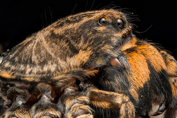Extreme magnification - Wolf Spider side view