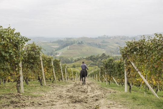 horse in a vineyard