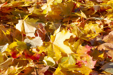 The fallen yellow foliage