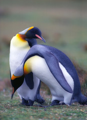 Two king pinguins