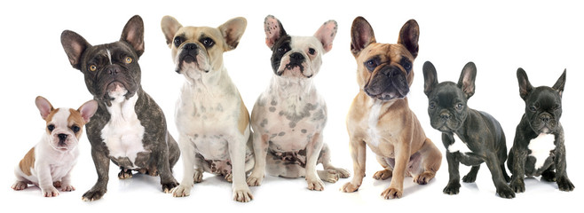 Fotorolgordijn Franse bulldog french bulldogs