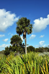 Healthy sabal palm trees, the state tree of Florida and South Carolina.