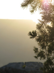 Pine tree in golden evening light in Grand Canyon, Arizona, United States in July.