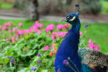 A proud male peacock poses for its portrait.