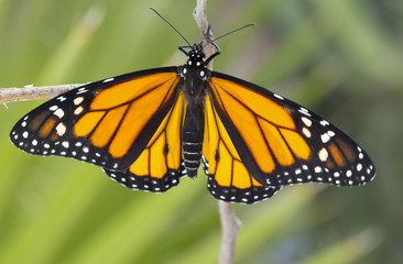 Close up Monarch Butterfly