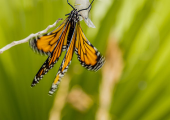 Drying wings in the wind Monarch