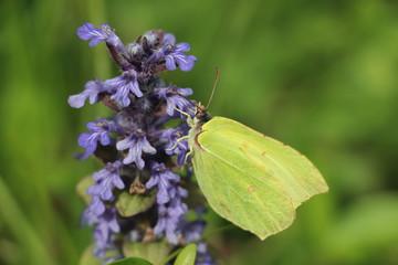 Papillon jaune sur fleur violette