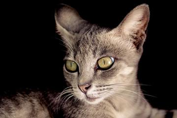 cat thai over black background.