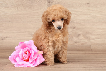 Dwarf poodle puppy with rose flower
