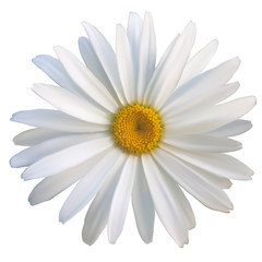 isolated daisy flower close-up on a white background, vector illustration