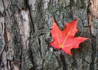 Red autumn maple leaf against tree bark