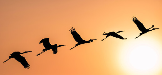 Panoramic Silhouette of Painted Stork flying against the setting