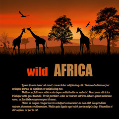 Wild Africa poster. Giraffes silhouettes on sunset with space for your text, vector illustration