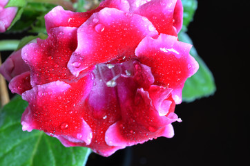 Bright exotic tropical flower with drops of water on a dark background