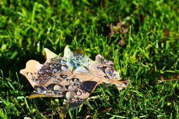 Morgentau im Herbst - Wassertropfen auf der Unterseite eines Eichenblattes