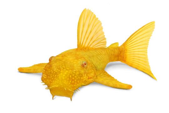 Golden Ancistrus pleco catfish Male albino bristlenose tropical freshwater aquarium fish