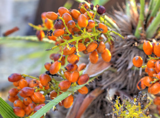 Exotic palm tree fruits