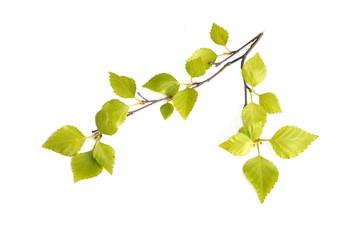 Fresh birch foliage on white background